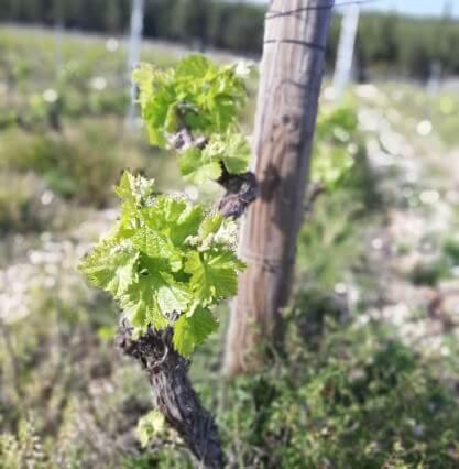Vineyard in Imotski
